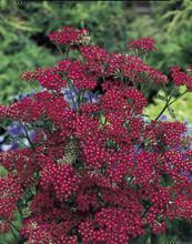 AchilleaYarrow Millefolium Cassis Perennial