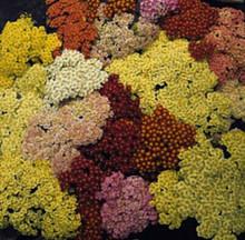 Achillea Yarrow Millefolium Summer Pastels Perennial