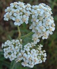 Achillea Yarrow Millefolium White Perennial