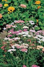 Achillea Yarrow Millefolium Colorado Perennial