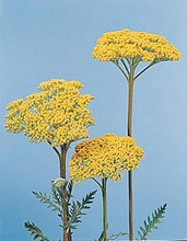 Achillea Yarrow Filipendulina Parkers Perennial