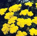 Achillea Yarrow Coarctaca Gold Coin Dwarf Perennial