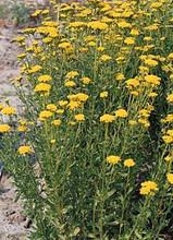 Achillea Yarrow Ageratum Moonwalker Perennial Seeds