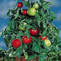 Containers Choice F1 Tomato