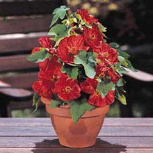 Abutilon Bella Series Mixed Annual Seeds