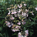 Collinsia Chinese Houses Seed