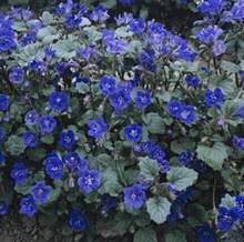 Phacelia Campanularia Blue Seed