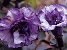 Datura Angel's Trumpet Blackcurrent Swirl Seeds