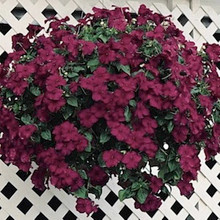 Impatiens Candy Burgundy Seed