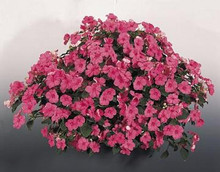 Impatiens Candy Rose Seed