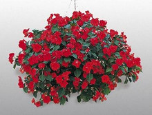 Impatiens Candy Red Seed
