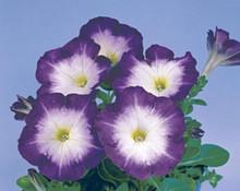 Petunia Merlin Morn Blue Seed