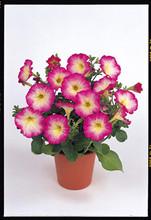 Petunia Merlin Morn Pink Seed