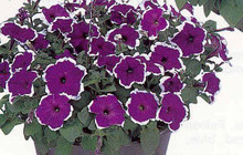 Petunia Frost Blue Seed