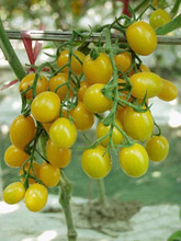 Jelly Bean Yellow Tomato