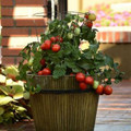 Little Napoli Tomato