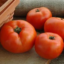 Primo Red Tomato