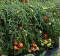 Stellar Tomato