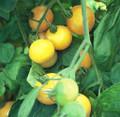 Chello Tomato Seeds