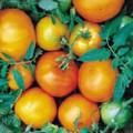 Caro Rich Tomato Seed