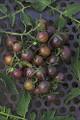 Dusky Cocktail Tomato Seeds