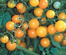 Currant Yellow Tomato