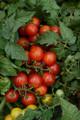 Little Bling Tomato Seeds
