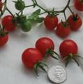 Mexico Midget Tomato Seeds