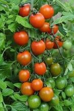 Orange Zinger Tomato