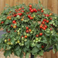 Red Profusion Tomato Seeds