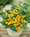 Window Box Yellow Tomato Seeds