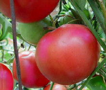 Beefsteak Pink Tomato
