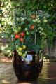 Little Sicily Tomato Seeds