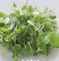 Micro Salad Mix Mild Greens Seeds