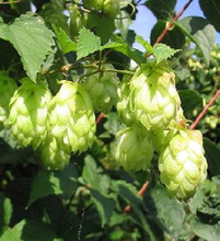 Hops Perennial Seed