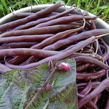 Royalty Purple Pod Beans