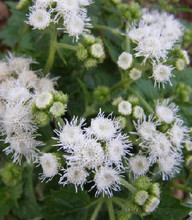 Ageratum MiniMound Series White Seeds