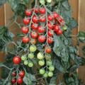 Rapunzel Tomato Seeds