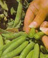 Peas Snap Sugar Daddy Seeds