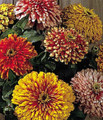 Zinnia Whirlygig Mix Seeds