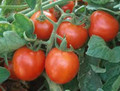 Promotional Seed Pack Tomato Large Red Cherry 100 seeds