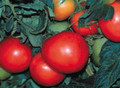 Promotional Seed Pack Tomato Rutgers VF 100 seeds
