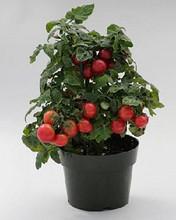 Sweet N Neat Cherry Red Tomato