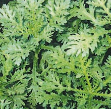 Greens Garland Serrate Leaf