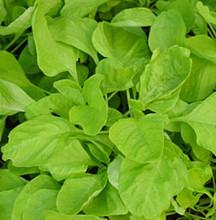 Amaranth Chinese Spinach White