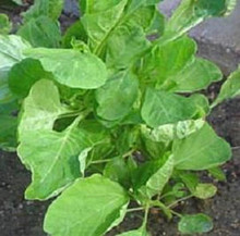 Amaranth Chinese Spinach Round Green Leaf