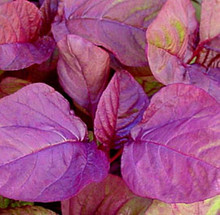 Amaranth Chinese Spinach Asia Red