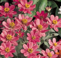 Zinnia Profusion Coral Pink