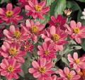 Zinnia Profusion Coral Pink