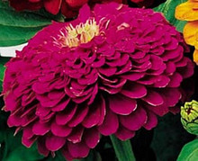 Zinnia Benary Giant Purple Annual Seed